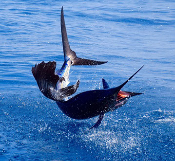 Catch more fish on a fishing trip with Casa Viaja Lodge, Pacific Fins, and Mad Marlin Lodge in Guatemala.  Best deep sea fishing charters.