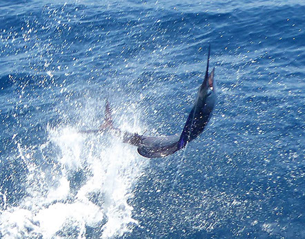 Big game fishing in guatemala for marlin and sailfish is the best sport fishing or deep sea fishing trip or charter for sailfish and marlin.